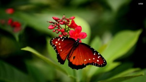 red-butterfly-33450-1920x1080