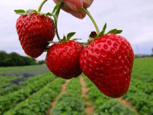 TR Best Wallpaper Fruits (031)